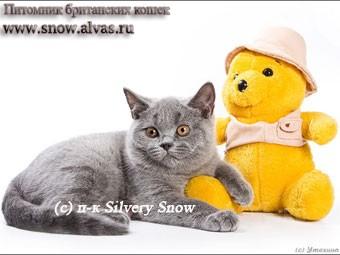 Продам Голубые британские котята., Саратов
